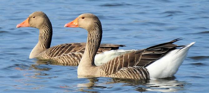 Greylag Geese - Photo by ianpreston