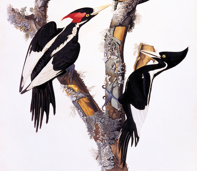 Ivory-Billed Woodpeckers (Audubon Print) - Image by Toronto Public Library