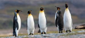King Penguins - Photo by nomis-simon