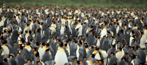 King Penguin Flock - Photo by Liam Quinn