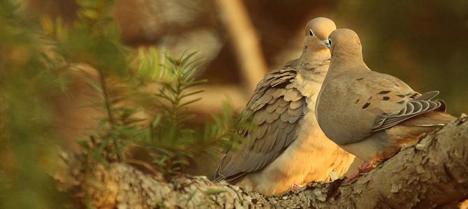 Mourning Doves - Photo by eflon