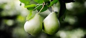 Pear Tree - Photo by Lengyel Márk