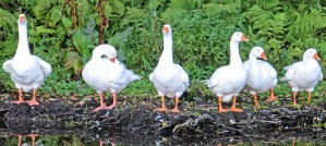 Six Domestic Geese - Photo by Tim Green