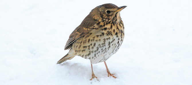 Song Thrush - Photo by Liam Lysaght