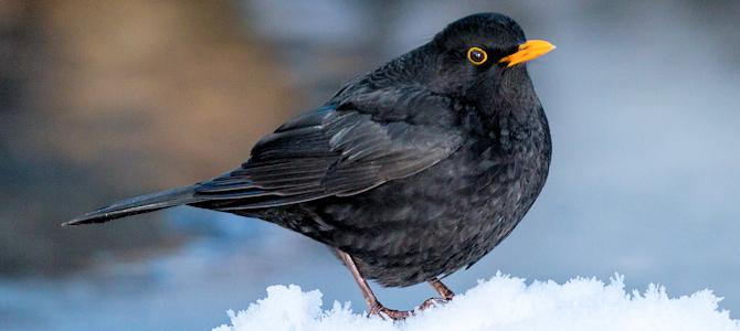 Winter Eurasian Blackbird - Photo by TimOve