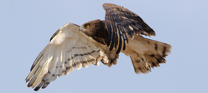 Black-Chested Snake-Eagle - Photo by Derek Keats