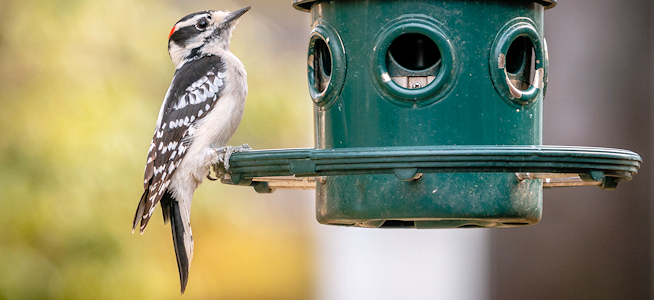 Downy Woodpecker on a Plastic Feeder - Photo by John Brighenti