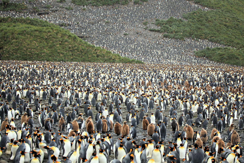 Massive King Penguin Colony - Photo by Liam Quinn
