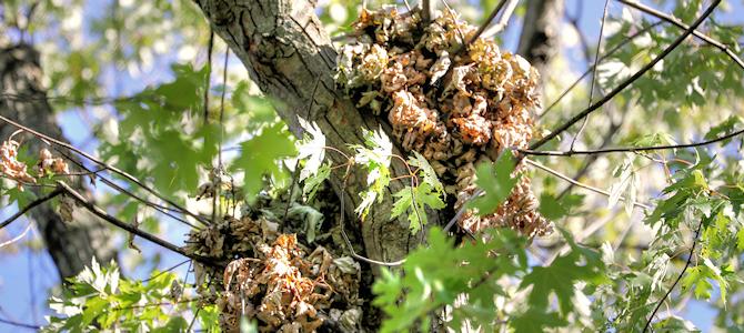 Squirrel Nest - Photo by gardener41