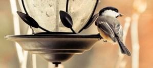 Chickadee Getting One Last Bite - Photo by Ada Be