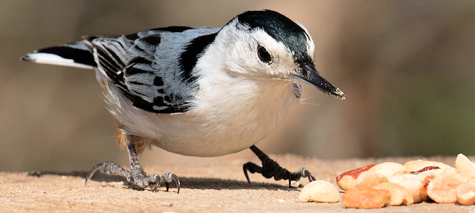 White-Breasted Nuthatch Enjoying Peanuts - Photo by ksblack99