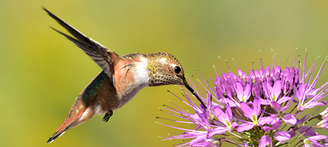 Young Rufous Hummingbird at a Flower - Photo by Tom Koerner/USFWS