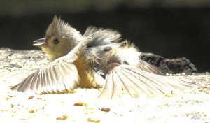 Young Titmouse Sunning on a Sunny Day - Photo by patricia pierce