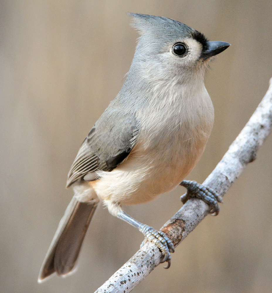 Tufted Titmouse - Photo by Jen Goellnitz