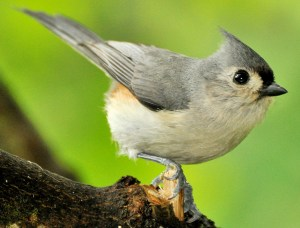 Tufted Titmouse - Photo by Jerry Hiam