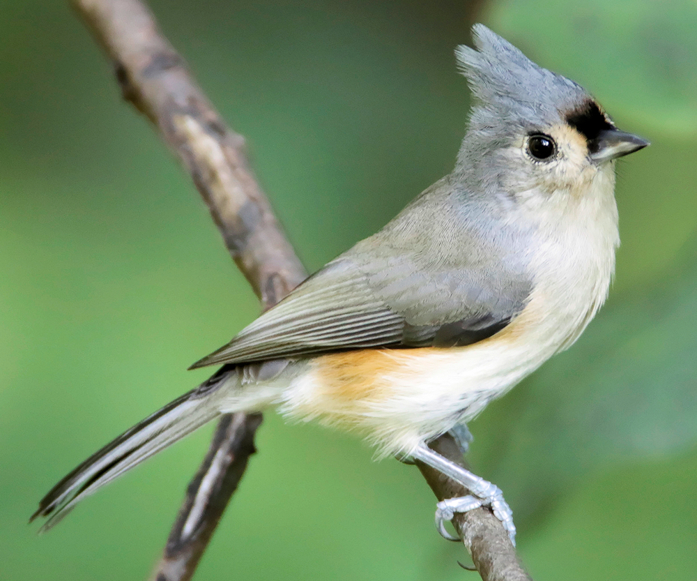 Tufted Titmouse - Photo by Rick from Alabama