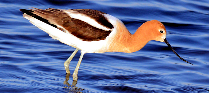 American Avocet - Photo by Ryan Moehring/USFWS