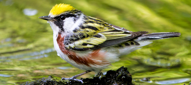 Chestnut-Sided Warbler - Photo by Dan Pancamo