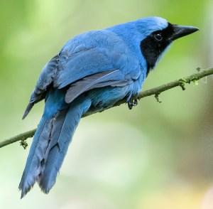 Turquoise Jay (Cyanolyca turcosa) - Photo by PEHart