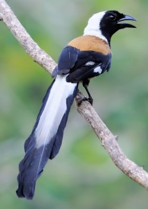 White-Bellied Treepie (Dendrocitta leucogastra) - Photo by Murali K