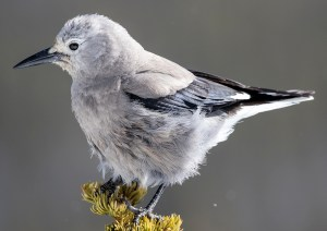 Clark's Nutcracker (Nucifraga columbiana) - Photo by Ryan Mandelbaum