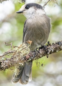 Grey Jay (Perisoreus canadensis) - Photo by Becky Matsubara