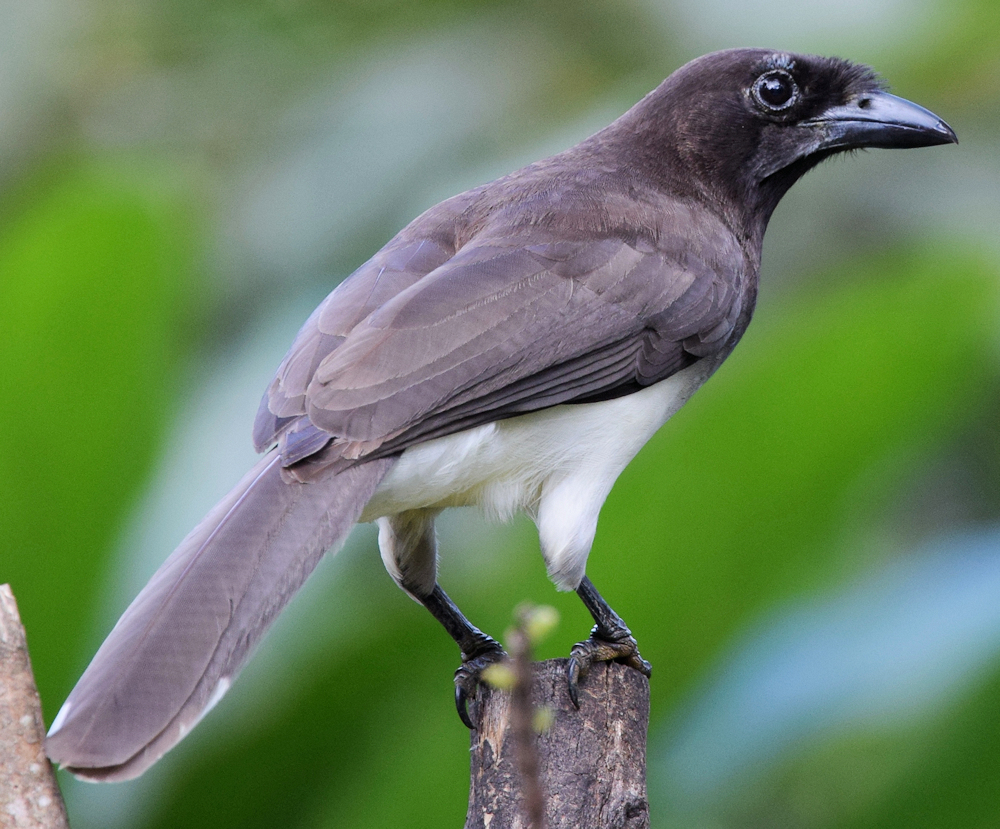 Brown Jay (Cyanocorax morio) - Photo by Andy Reago & Chrissy McClarren