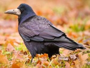 Rook (Corvus frugilegus) - Photo by hedera.baltica