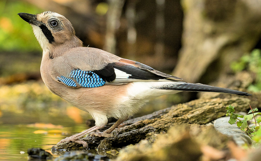 Eurasian Jay (Garrulus glandarius) - Photo by Francesco Veronesi