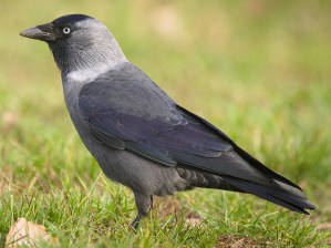 Eurasian Jackdaw (Corvus monedula) - Photo by hedera.baltica