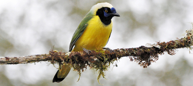 Green Jay - Photo by Don Faulkner