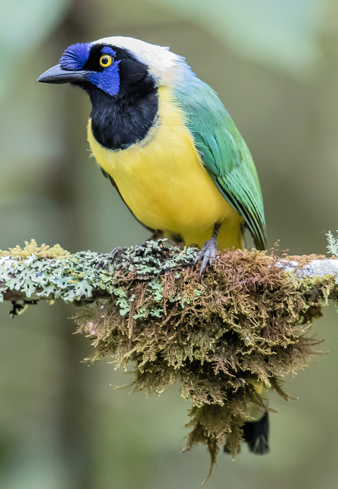 Green Jay on a Green Perch - Photo by PEHart