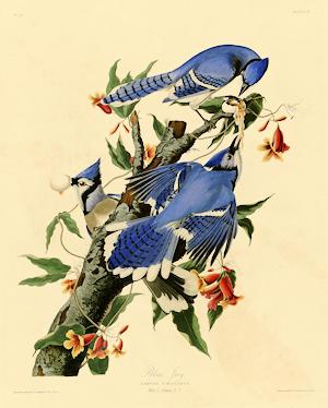 Audubon's Blue Jay Illustration
