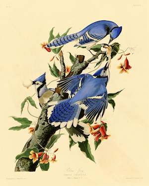 Audubon's Blue Jay Illustration