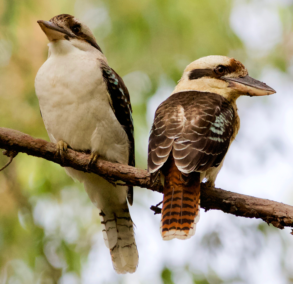 Laughing Kookaburra Pair - Photo by Mark Gillow