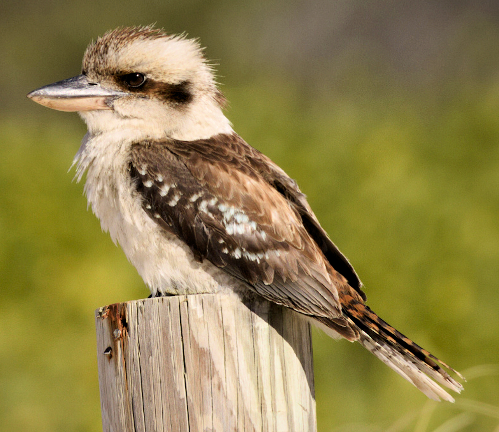 Laughing Kookaburra - Photo by Thirdsilence Nature Photography / KD Murray