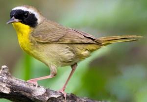 Common Yellowthroat (Geothlypis trichas) - Photo by Dan Pancamo