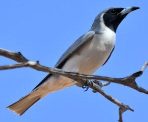 Masked Woodswallow (Artamus personatus) - Photo by Laurie Boyle