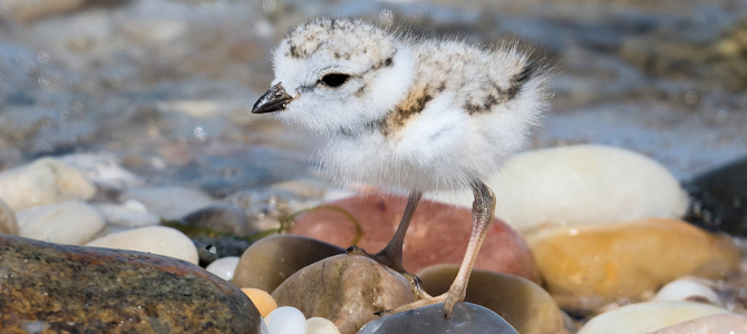 Help baby piping plovers - Every day! - Photo by Russ