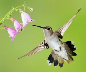 Black-Chinned Hummingbird - Female - Photo by Bob Walker
