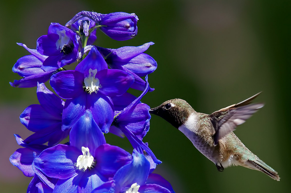 Black-Chinned Hummingbird and His Bouquet - Photo by Thy Photography