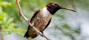 Black-Chinned Hummingbird - Male - Photo by Renee Grayson
