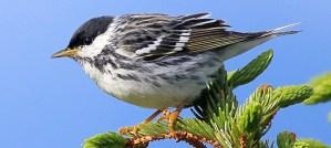 Blackpoll Warbler - Photo by Scott Heron