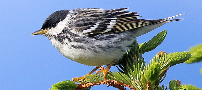 Blackpoll Warbler - Photo by Scott Heron
