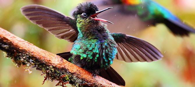 Laugh Along With the Fiery-Throated Hummingbird - Photo by ryanacandee