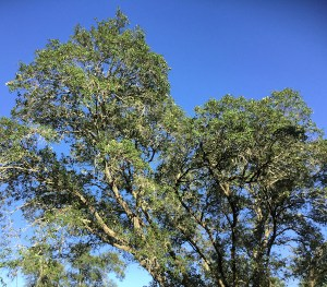 My Warbler Trees - Photo by Melissa Mayntz