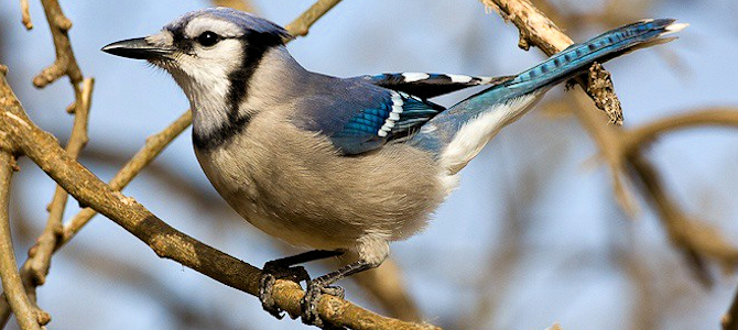 Blue Jay - Photo by David Seibel
