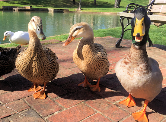 Friendly Ducks - Photo by Chuck Allen