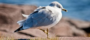 Ring-Billed Gull - Photo by Randen Pederson