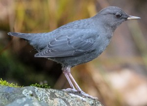 American Dipper - Photo by Sunny